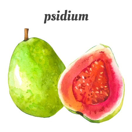 guava fruit: Watercolor illustration of a painting technique. Fresh organic food. Illustration