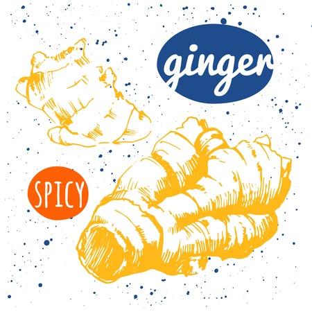 ginger root: Outline drawing ginger root. Seasoning for food. Restaurant Design. Illustration