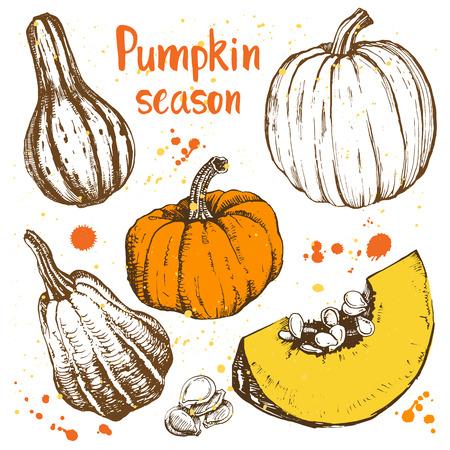 calabaza: Bocetos de calabazas anaranjadas. Ilustración del vector de la cosecha de otoño. Día de Acción de Gracias.