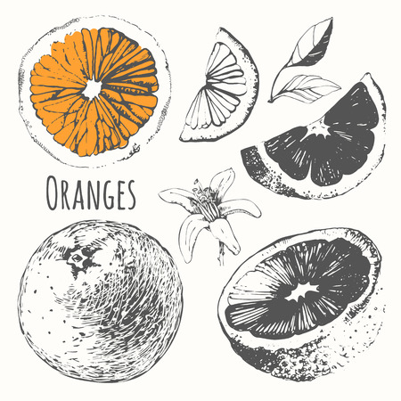 Vector illustration with hand drawn of orange. Black and white sketch of food.