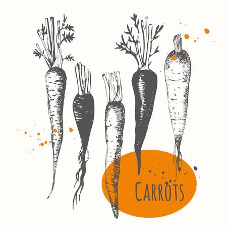 zanahorias: Los alimentos frescos orgánicos. Ilustración del vector con el vehículo boceto. Vectores