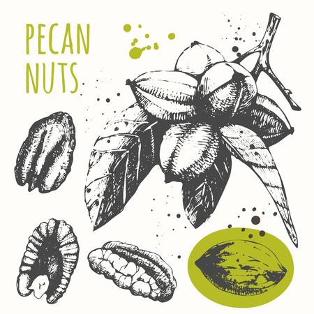 pecans: Fresh organic food. Vector illustration with sketch nuts. Illustration