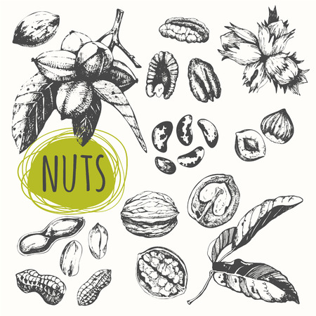 walnut: Fresh organic food. Vector illustration with sketch walnuts, pecans, hazelnuts, peanuts, brazil nuts.