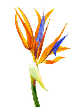 Bird of paradise flower painted in watercolor. Botanical illustration. 免版税图像