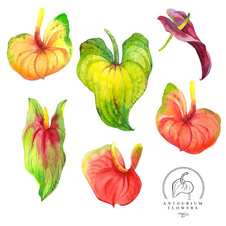 anthurium: Watercolor set of red and green lanthurium flowers. Handmade painting on a white background. Stock Photo