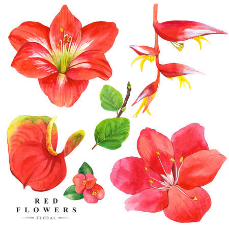 anthurium: Botanical illustration with realistic tropical flowers and leaves. Watercolor collection of red flowers, anthurium, amaryllis and strelitzia. Handmade painting on a white background. Red set.