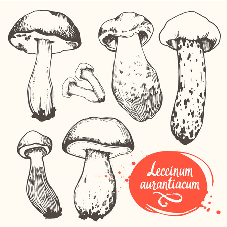 delicacy: Vector illustration with set of mushrooms in sketch style. Hand-drawn leccinum aurantiacum on white background. Autumn forest harvest.