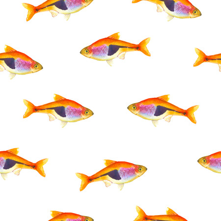 tetra fish: Seamless pattern with tropical harlequin rasbora. Watercolor illustration with hand drawn aquarium exotic fish on white background.