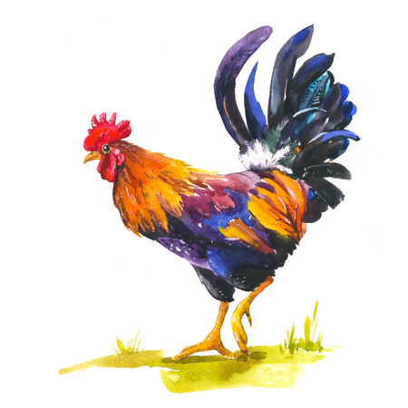 Realistic illustration of multicolor rooster on white background. Watercolor hand-drawn domestic bird. 2017 Chinese New Year of the rooster. Poster with symbol of year.