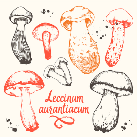 Vector illustration with set of mushrooms in sketch style. Hand-drawn leccinum aurantiacum on white background. Autumn forest harvest.