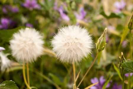 Close-up of dandelion medicinal plant with gradient background