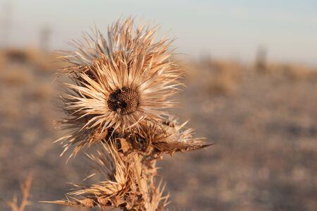Dry thistle, with degraded arid bottom. Onopordum Acanthium