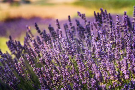 rapprochement: Photo of lavender field at sunset. Polish region of Malopolska.