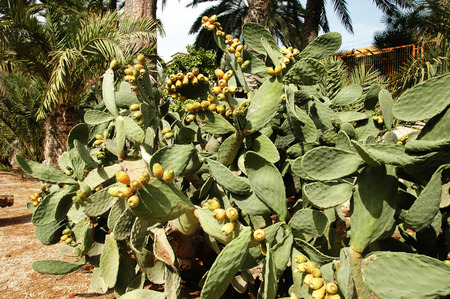 prickly pear: Spanish fruit prickly pear