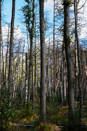 Dead forest destroyed by drought and disease.