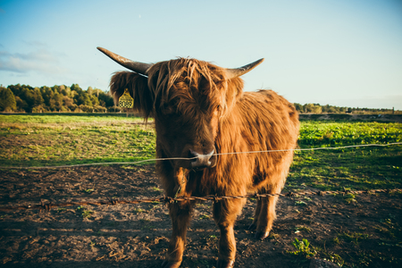 Scottish cows in the field. Scottish cattle breeding in Poland.