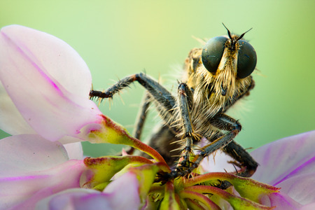 asilidae: macro. Asilidae on a flower