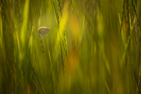 macrophotography: copper-butterfly