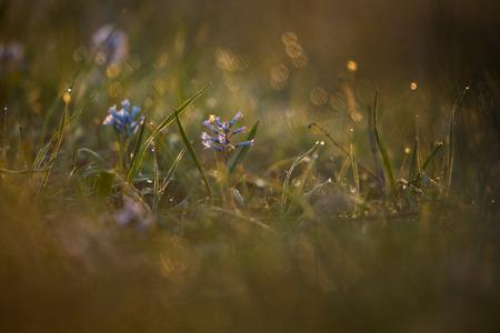 na: Russia. Rostov region.  Hyacinth blue.