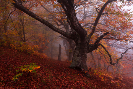 smokies: Russia, Republic of Crimea. Gold Crimea. Beech forest in autumn mist.