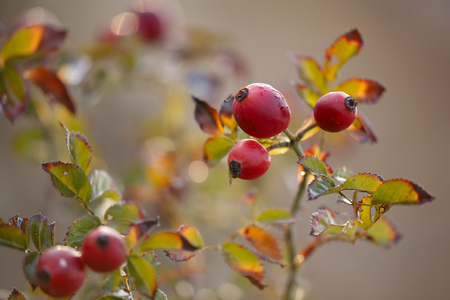 yellowing: red rosehip berries on branches with leaves yellowing