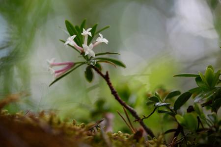 daphne: blooming branch Daphne mezereum