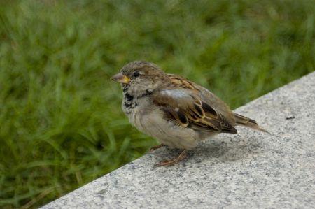 gregarious: Little grey sparrow