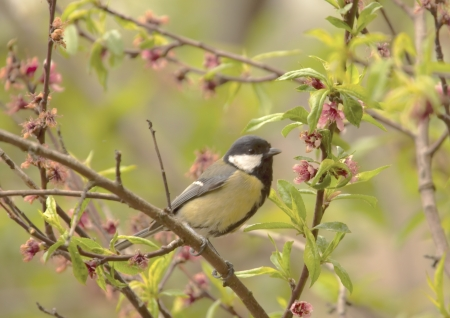 Great Tit perched in Peach Tree Stock Photo - 14713598
