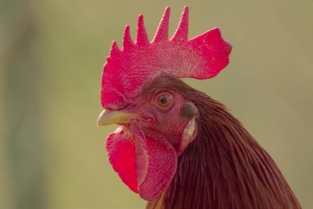 fighting cock: Cockerel Stock Photo