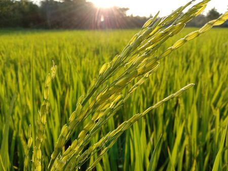 Rice field, green paddy rice