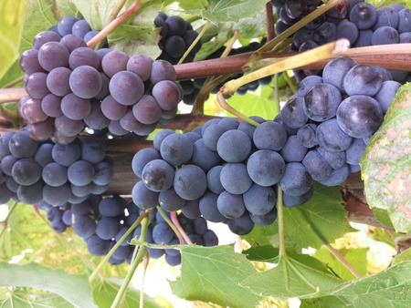 Grapes of red wine species Blue Portugal Foto de archivo - 124193651