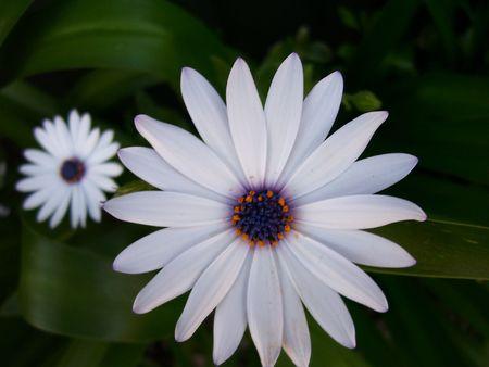trailing: Trailing African Daisy (Osteospermum fruticosum)
