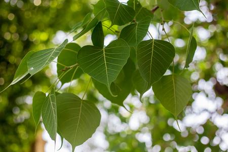 Green leaf Pho leaf, (bo leaf,bothi leaf) 免版税图像