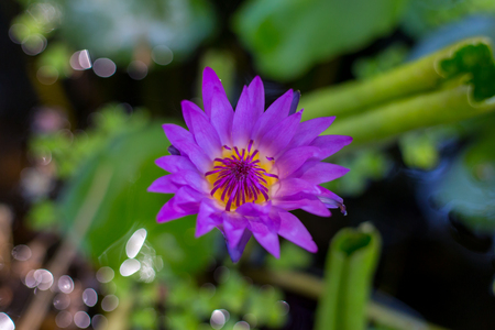 Beautiful purple lotus flower violet lotus blooming in the pond closeup lotus flower Lotus violet nice water lily flower of thailand.