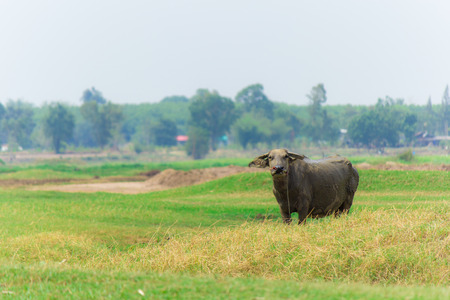 buffalo with straw on grass and mountian background 免版税图像