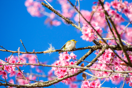 The bird on the Wild Himalayan Cherry's tree,in the north of Thailand.