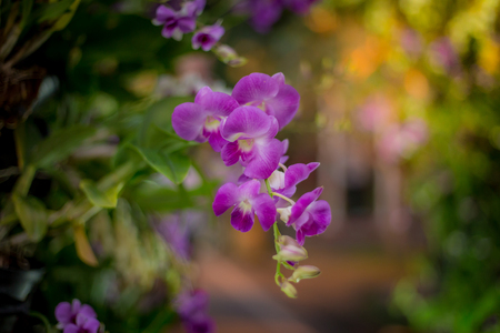 Purple orchids with a blurry background in the park, orchids purple Is considered the queen of flowers, orchids is colorful of nature