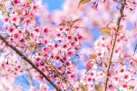 Beautiful sweet pink of Wild Himalayan cherry's flowers.