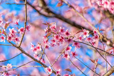 sweet pink of Wild Himalayan cherry's flowers. 免版税图像