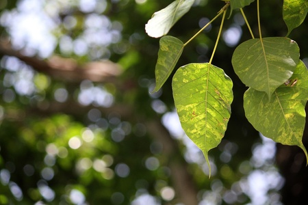 The Bodhi tree in the park, Thailand Stock Photo - 9495434