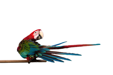 green winged macaw: Green-winged Macaw Ara chloropterus red birds isolated on white background