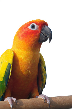 Sun Conure Parrot Screaming on a Branch isolated on white background  Stock Photo