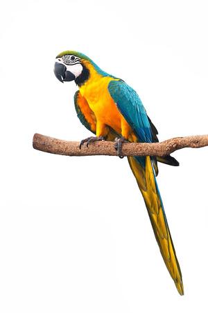 aves: Un p�jaro hermoso guacamayo azul y oro aislado en el fondo blanco