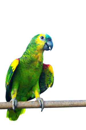Blue fronted Amazon parrot isolated on white background