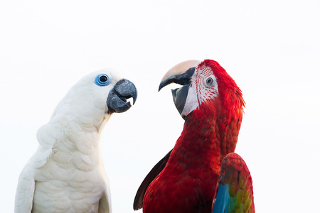 Green-winged Macaw Ara chloropterus and Sulphur-crested cockatoo isolated on white background photo