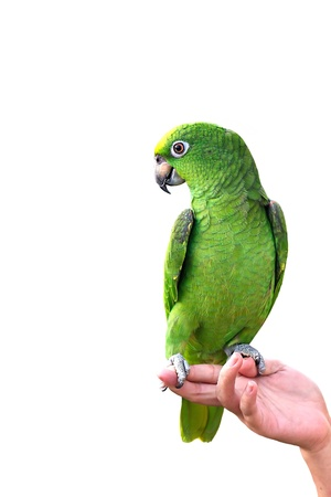 YELLOW-CROWNED AMAZON on hand isolated on white background photo