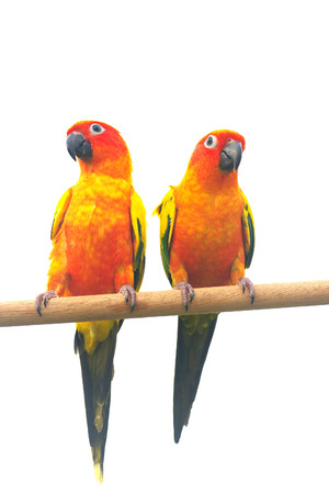 Sun Conure Parrot Screaming on a Branch isolated on white background
