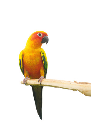 squealing: Sun Conure Parrot Screaming on a Branch isolated on white background