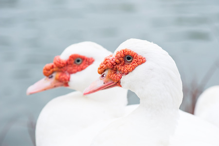 White muscovy red face thailand. photo