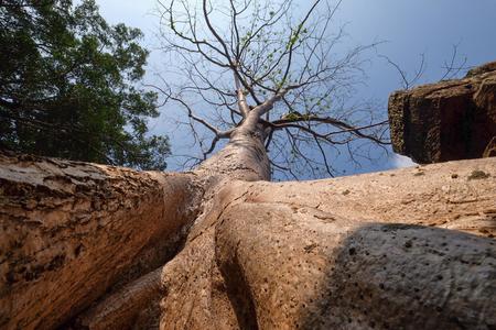 Big Banyan tree root covering stone prasat Ta Prohm in Angkor thom, The big huge roots above the construction at Angkor wat Siem Reap, Cambodia